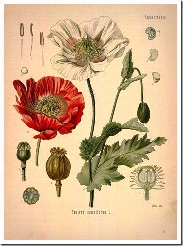 I love botanical prints... I can't wait to do a series of framed prints. This seems to be a good source!