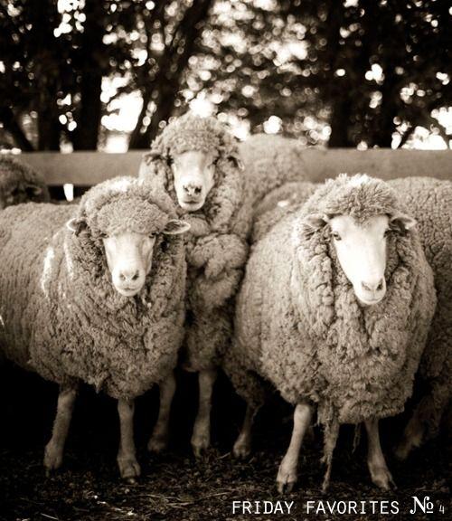 sheep, sheep, sheep: Tinslay Aussies, Aussies Boys, Sheepi, Ewe, Petrina Tinslay, Lamb, Baaa Baaaa, Animal, Country Sheep