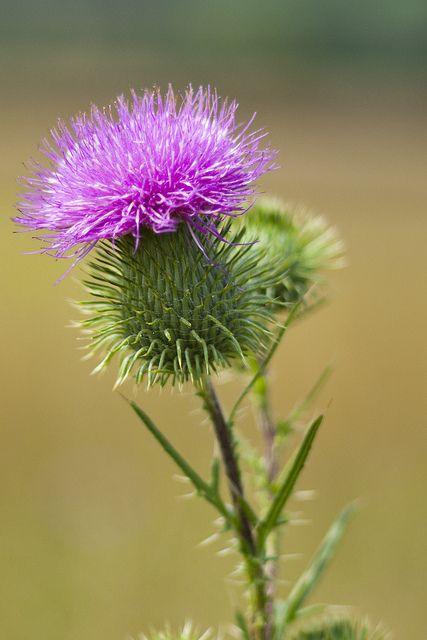 Thistle, flower of Scotland   M. Braun on flickr