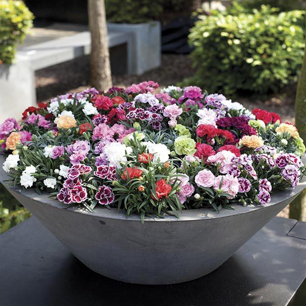 Carnation Sunflor Series (Patio Pot) Collection from Mr Fothergill's Seeds and Plants