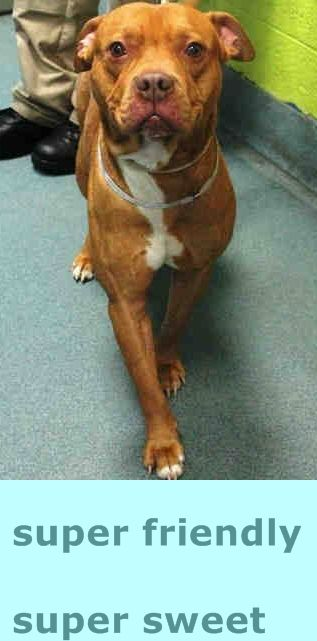 URGENT! Brooklyn Center MOE - A1031363 MALE, BROWN / WHITE, PIT BULL / BOXER, 2 yrs STRAY - STRAY WAIT, NO HOLD Reason STRAY Intake condition EXAM REQ Intake Date 03/26/2015 https://www.facebook.com/Urgentdeathrowdogs/photos/pb.152876678058553.-2207520000.1427582446./983616741651205/?type=3&theater