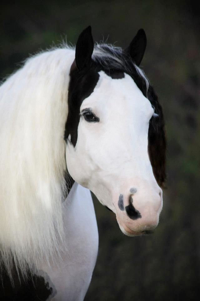 WR Sahara-Gypsy Vanner mare