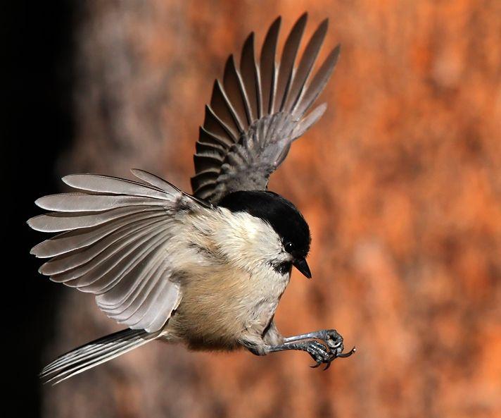 Alpenmeise in Action/Willow Tit (Parus montanus), von Peter Kuster