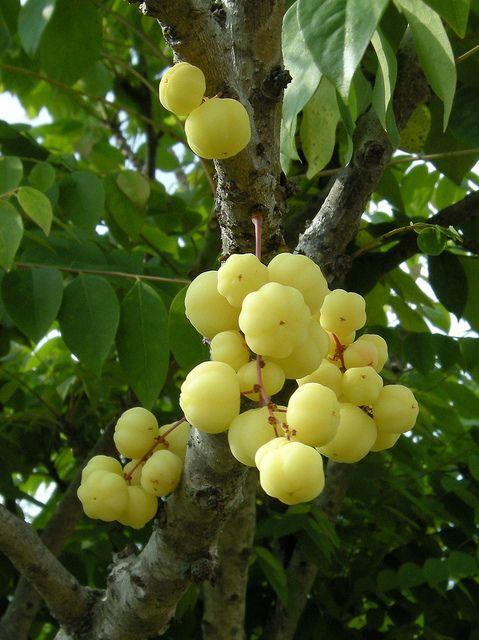 Otaheite Gooseberry (Phyllanthus acidus) by LennyWorthington, via Flickr