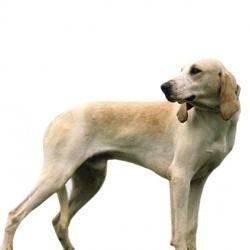 Il Billy è un cane dolce, affettuoso e molto intelligente. La sua espressione sorniona non deve ingannare poiché, in qualsiasi momento, appare pronto ad assalire la preda. Come i più grandi segugi, ama la vita all'aria aperta e sa correre, senza fatica, per chilometri.
