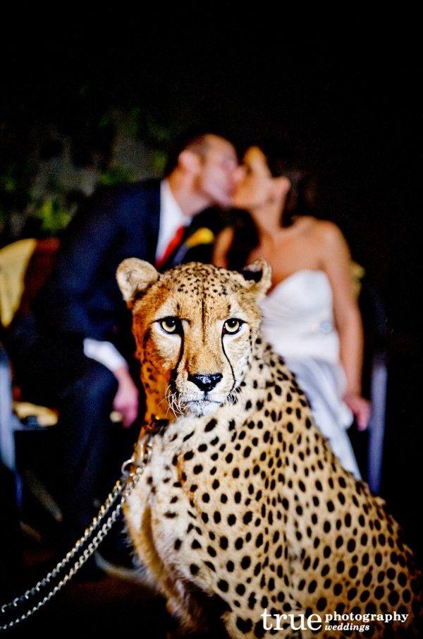 A majestic cheetah at San Diego Zoo Safari Park Wedding