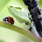 How To Make a Ladybug Feeder & Attract Them to Your Garden | Apartment Therapy