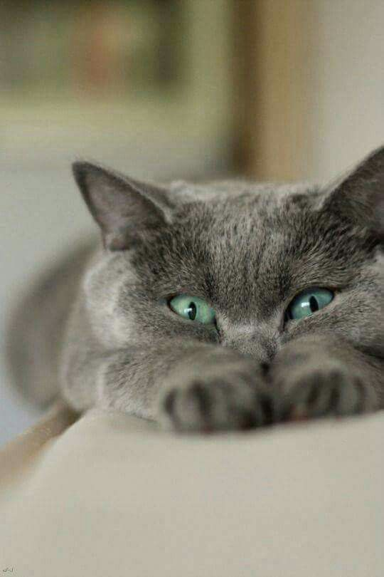 25+ best ideas about Russian blue on Pinterest | Grey cats ...