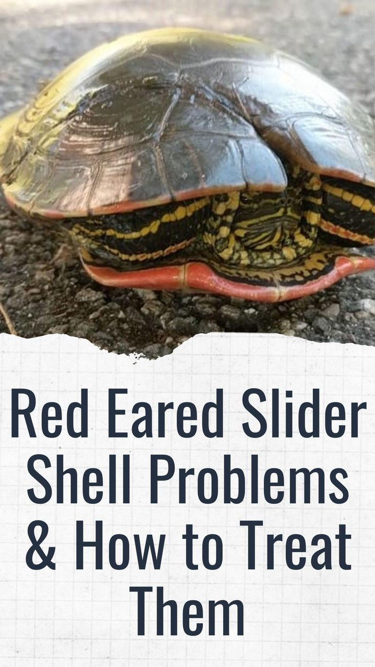 Red Eared Slider Shell Problems & How to Treat Them in