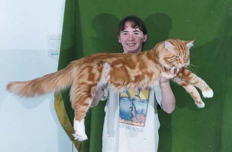 Big Maine Coon Cat Pictures, Large http//www