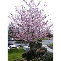 OPRIT  Kerspruim  (Prunus cerasifera 'Nigra')   De Prunus cerasifera 'Nigra' is een bladverliezende boom met ronde kroon. Donkerpaarse bladeren, die eerst rood zijn. In het voorjaar veel roze bloemen.