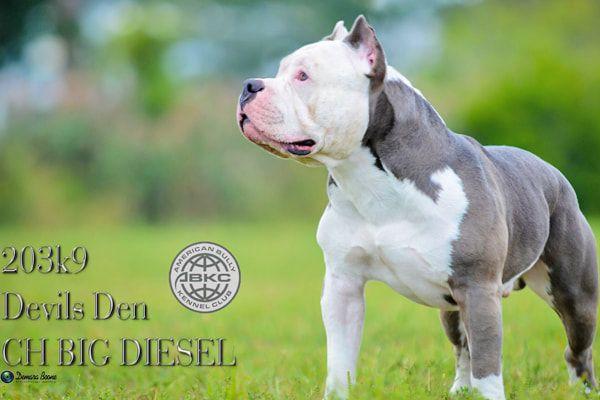 Ch Big Diesel Devils Den Bullies American Bully Kennels Bully Breeds Diesel