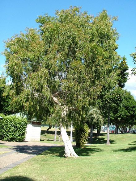 78 best images about small trees on pinterest trees for Small garden trees queensland