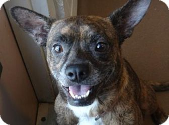 Lakeland, FL - French Bulldog Mix. Meet Sunshine, a dog for adoption. http://www.adoptapet.com/pet/15551434-lakeland-florida-french-bulldog-mix