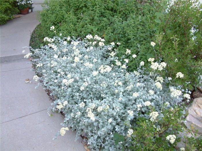 Licorice plant (Helichrysum petiolare)