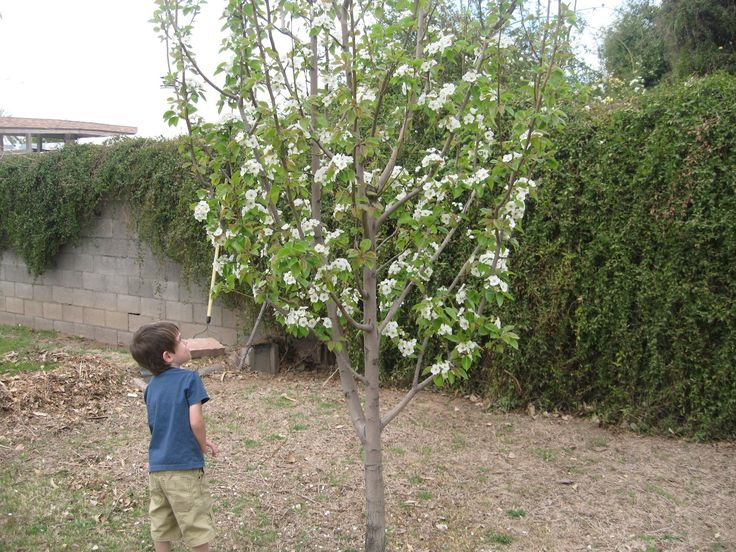 Bartlett Pear Dwarf Tree Yahoo Image Search Results