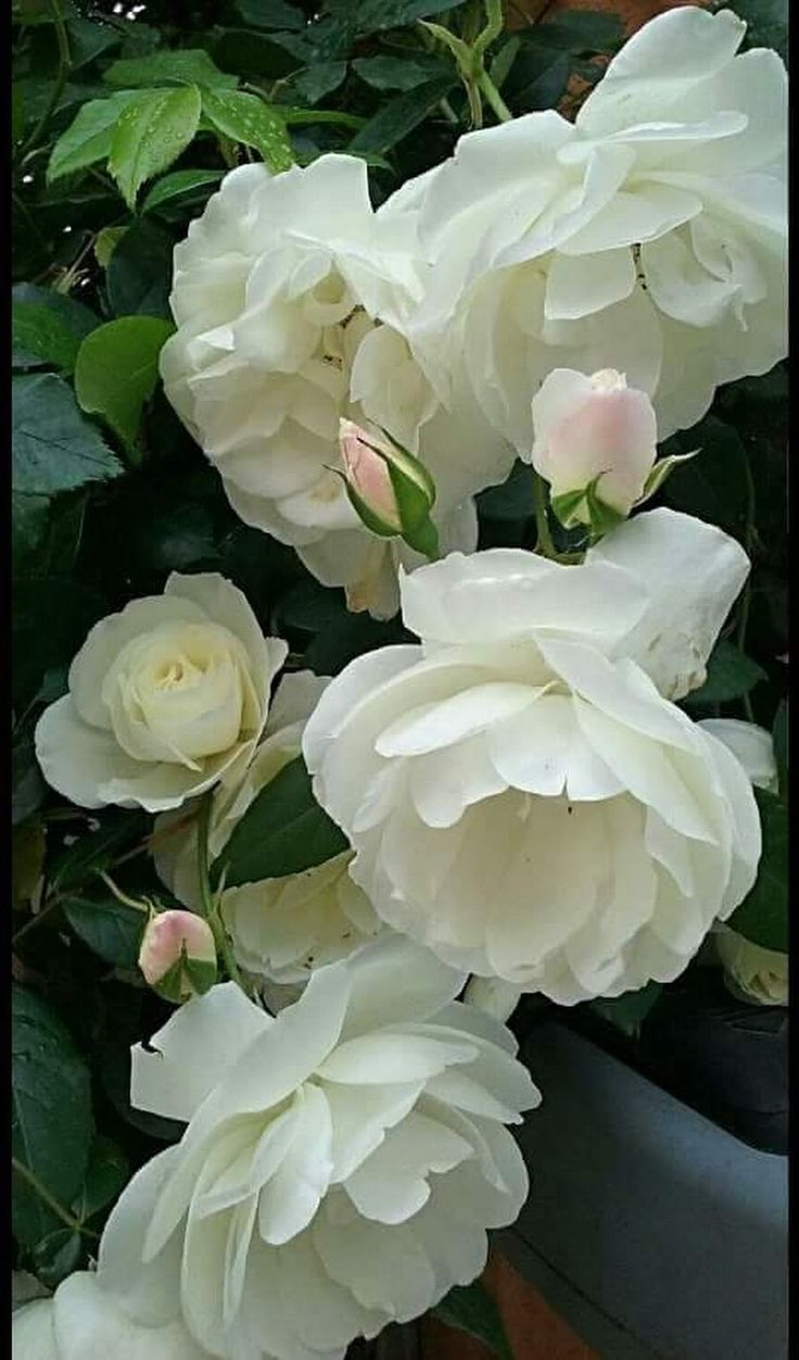 5218 best Roses images on Pinterest   Blossoms, Bright yellow and Colors