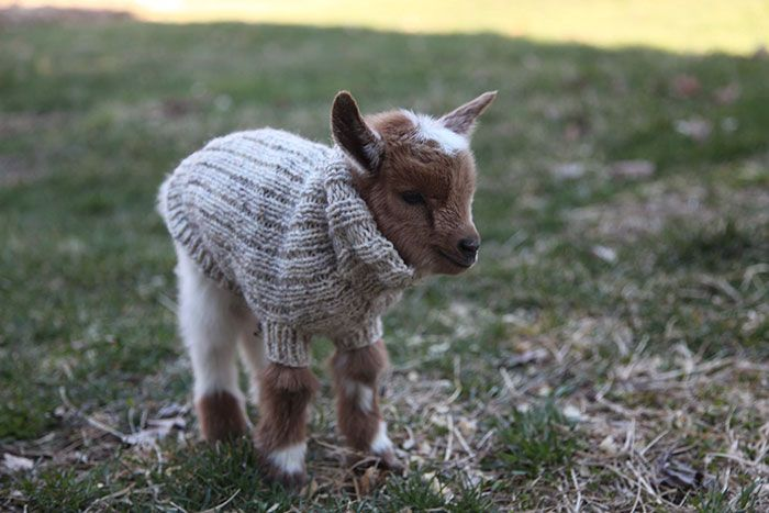 We've seen dogs, chickens and even penguins in sweaters, but these 3 newborn goats reach the ultimate level of cuteness. Born just a few days ago, the Nigerian Dwarf goat triplet received tiny custom-knit sweaters to keep them warm at the Sunflower Farm in Maine.