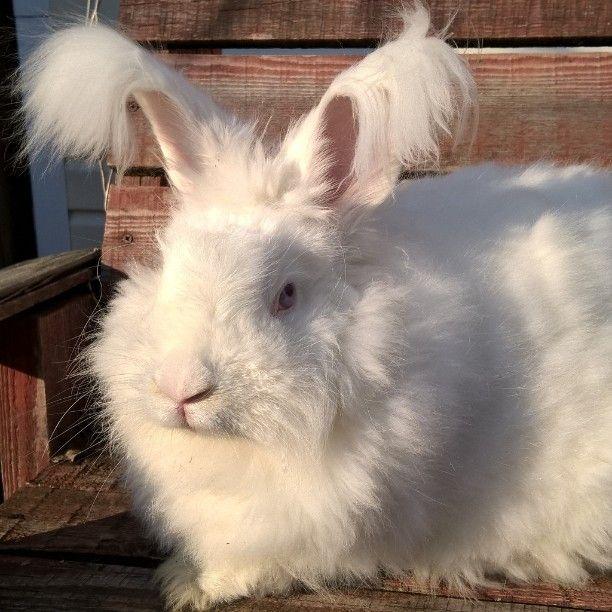 Гигантский кролик немецкая ангора . Кличка Беляш  вес 5000гр .  Можно держать в квартире  на балконе  длина шерсти достигает 15см  в год можно собрать до 1000г пуха  цена кроличьего прикладного  не пряденого пуха на на рынке сырья от 10-15т за за 1 кг . Для творческих людей незаменимый  спутник…