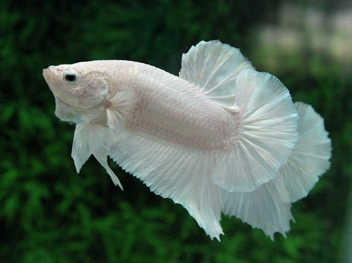 64 best images about beautiful bettas on pinterest image for Rare types of betta fish