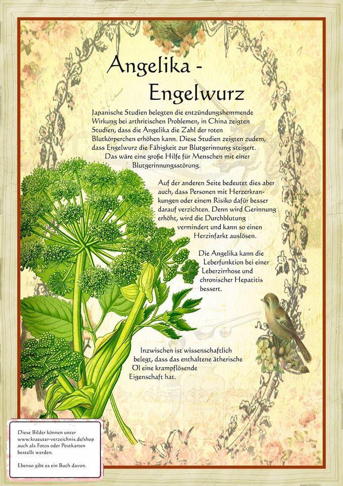 Engelwurz http://www.kraeuter-verzeichnis.de/
