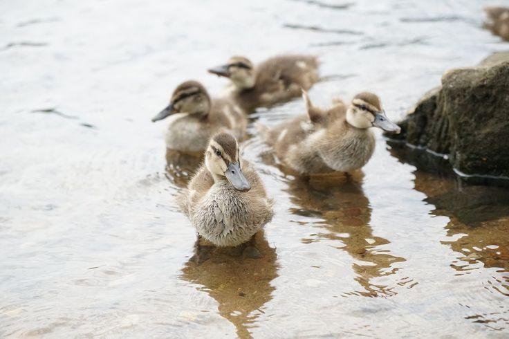 patos, crías, agua, pequeños, piedra, 1707160818