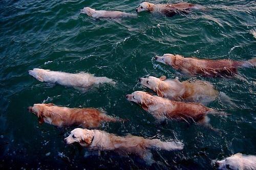 Golden retrievers migrating....