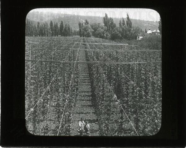 Acres of hop vines, New Norfold ie.[Norfolk], Tasmania | saskhistoryonline.ca