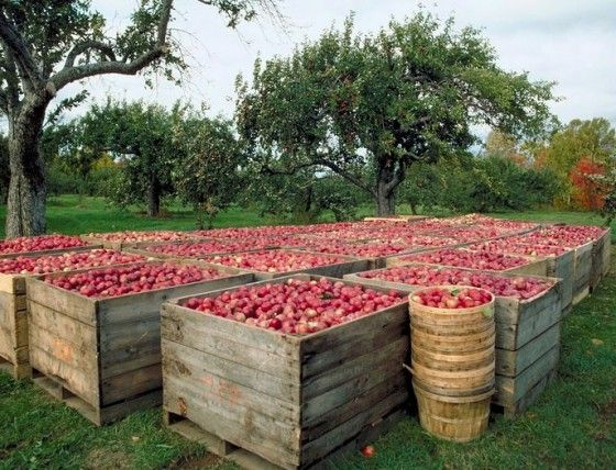 Yankee Magazine's lifestyle editor chooses the best apple orchards in New England.