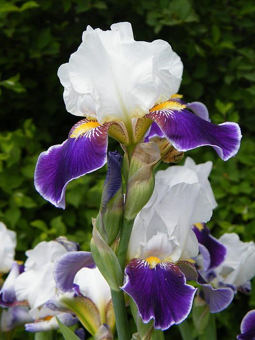 Cream on Top of the Spring Garden by Mary Sedivy. The beauty of an Iris flower inspires artists and poets, and transcends time. Irises faithfully return each May to add their burst of color to the garden and brighten our lives. I hate weird time travel loops, but I love Irises!