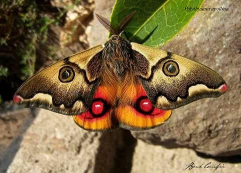 Mariposa nocturna chilena