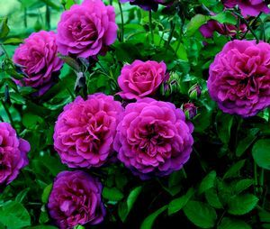 Zone 3 Rose Bushes Sir John Betjeman Rosa English From Regan Nursery Gardening Garden Projects Pinterest Roses And Flowers