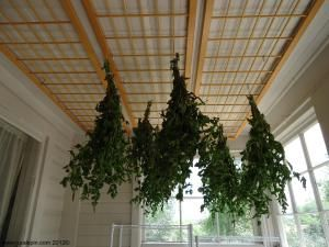 Harvesting and DryingMint