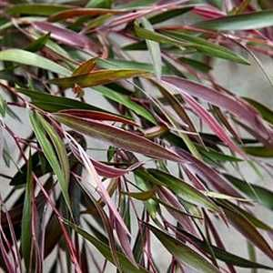 (AfB) Agonis flexuosa 'Burgundy'. Burgundy Peppermint Willow - possible shade tree