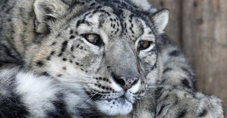 Leopardo das neves descansa dentro de sua jaula ao ar livre do zoológico Royev Ruchey, na cidade de Krasnoyarsk, na Rússia Ilya Naymushin/Reuters