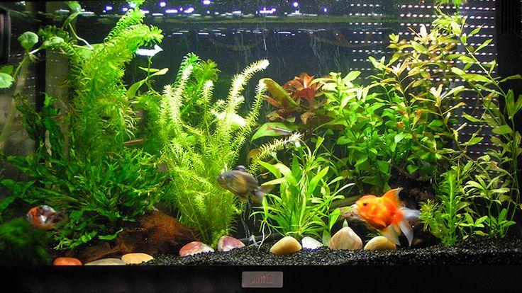 Aquarium de poisson rouge
