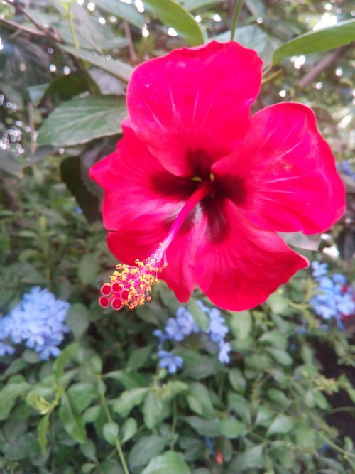 Hibiscus – Gumamela in The Philippines | FLOWERS: Hibiscus ...