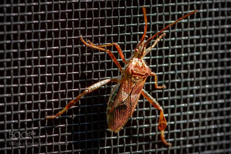 Western Conifer Seed Bug by jelve