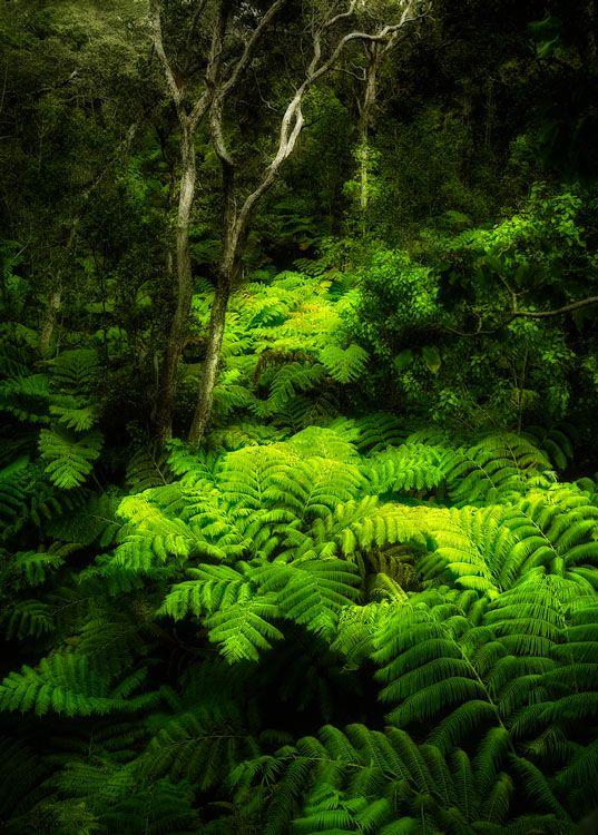 Farn Wald | © Yves Rubin (Big Island, Hawaii)