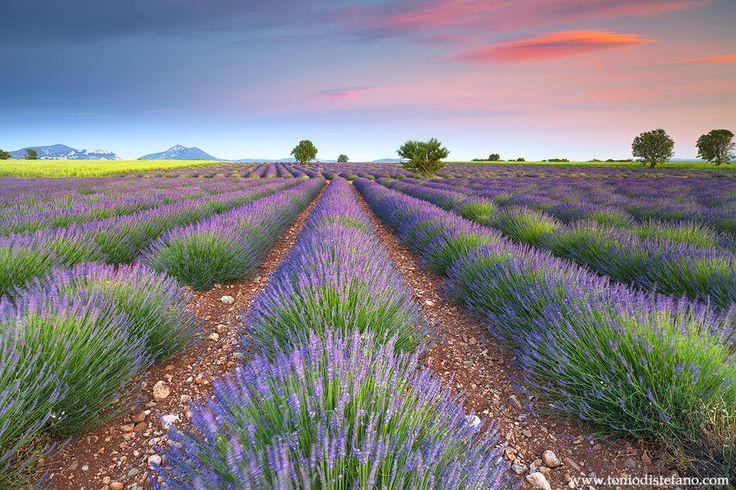 Dreamy Lavender by Tonio Di Stefano on 500px