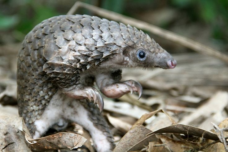 white-bellied pangolin, found in West + Central Africa. Image © Guy Colborne