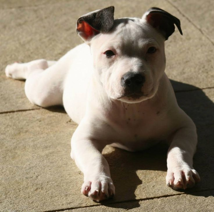 White English Staffy Puppy Staffordshire Bull Terriers