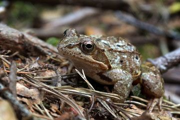 Rana arvalis - moor frog in summer forest