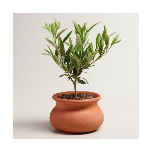 Cost Plus World Market Live Olive Tree in Terracotta Pot ($35) ❤ liked on Polyvore featuring home, home decor, floral decor, cost plus world market, olive tree, terracotta pots, tree pots and tree home decor