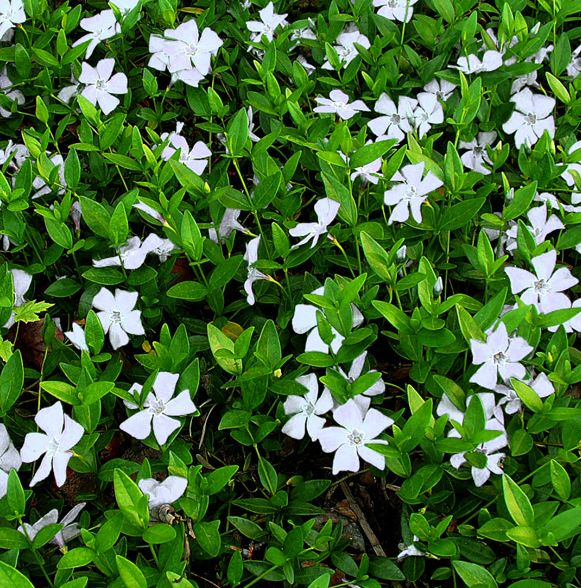 Vinca minor 'Alba' (evergreen shade ground cover native to Europe)
