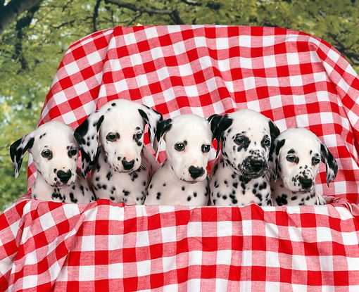PUP 03 RK0126 01 - Five Dalmatian Puppies Sitting In Basket With ...