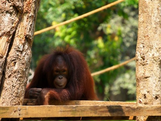 What a mischievous little face http://www.oysterworldwide.com/gap-year/zoo-assistant-internship-in-malaysia/