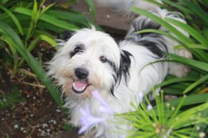 Manchester is an adoptable Tibetan Terrier Dog in Rowayton, CT. **EMAIL ONLY lexisangels2@hotmail.com Manchester is approx 3 yrs old and 15 lbs; When we rescued him from the shelter he was terrified ...