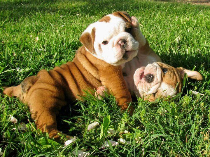 english bulldog health problems 1000 images about english bulldogs on pinterest pet 1075