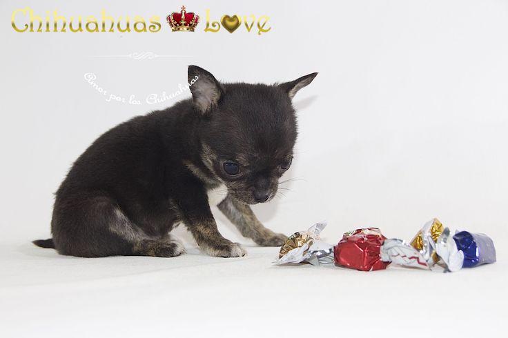 http://chihuahuas-love.com/cachorros-en-venta/pinki-detail